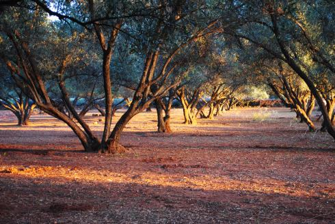 Olive orchard, Ourika valley, Morocco